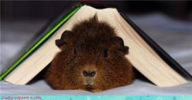 Here's a picture of a guinea pig with a book on top of him to distract you from that ungodly image.